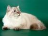 Наши кошки, Питомник сибирских кошек - Сариола